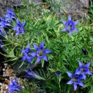 USA SELLER Gentian Blue Herald 25 seeds