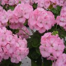 USA SELLER Apple Blossom Geranium  25 seeds