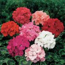 USA SELLER  Zonale F2 Mix Geranium  25 seeds