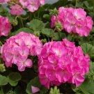 USA SELLER Pink Bicolor Geranium  25 seeds