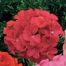 USA SELLER Rose Geranium  25 seeds