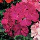 USA SELLER Violet Geranium  25 seeds