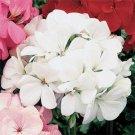 USA SELLER White Geranium  25 seeds
