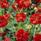 USA SELLER Avens Mrs. Bradshaw  25 seeds