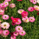 USA SELLER Paper Daisy Rose Mix 50 seeds