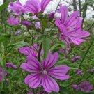 USA SELLER  Mauritiana Hollyhock 25 seeds