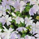 USA SELLER Moschata White Hollyhock 25 seeds