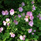 USA SELLER Moschata Rosea Hollyhock 25 seeds