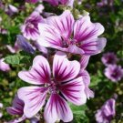 USA SELLER  Zebrina Hollyhock 25 seeds