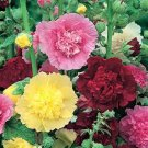 USA SELLER  Indian Spring Mix Hollyhock 25 seeds