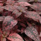 USA SELLER Splash Select Red Polka Dot Plant 10 seeds