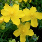 USA SELLER St Johns Wort 10 seeds