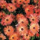 USA SELLER Orange Ice Plant 50 seeds