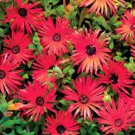 USA SELLER Bright Red Ice Plant 50 seeds