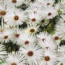 USA SELLER Gelato White Ice Plant 50 seeds