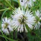 USA SELLER Illinois Bundleflower 200 seeds