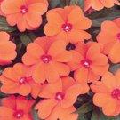 USA SELLER Walleriana Baby Orange Impatiens 25 seeds