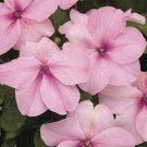 USA SELLER Walleriana Baby Pink Impatiens 25 seeds