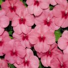 USA SELLER Tempo Butterfly Strawberry Impatiens 25 seeds