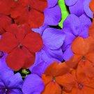 USA SELLER LoGro Lorider Mix GL Impatiens 25 seeds
