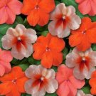 USA SELLER  Walleriana Super Elfin XP Sedona Mix Impatiens 25 seeds