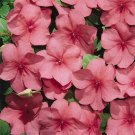 USA SELLER  Walleriana Tempo Watermelon Impatiens 25 seeds