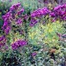 USA SELLER Ironweed 25 seeds
