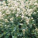 USA SELLER Jupiter's Beard White  25 seeds