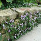 USA SELLER Kenilworth Ivy 100 seeds