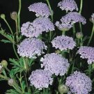 USA SELLER Blue Lace Flower 25 seeds
