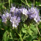 USA SELLER Lacy Phacelia 100 seeds