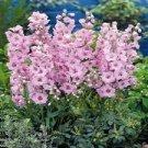 USA SELLER  Pink Queen Larkspur 25 seeds