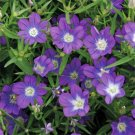 USA SELLER Legousia Blue 50 seeds