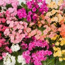 USA SELLER Lewisia Mix 25 seeds