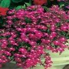 USA SELLER Rosamond Lobelia 100 seeds