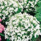 USA SELLER White Lady Lobelia 100 seeds