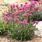 USA SELLER Alpina Lychnis 25 seeds