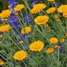 USA SELLER Marguerite Daisy Orange 100 seeds
