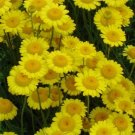 USA SELLER Marguerite Daisy Yellow 100 seeds