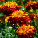 USA SELLER Champion Flame Marigold 25 seeds