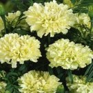 USA SELLER Kilimanjaro White Marigold 25 seeds
