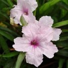 USA SELLER Mexican Petunia Pink  10 seeds