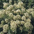USA SELLER Mignonette Machet 50 seeds
