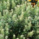 USA SELLER Mignonette Ameliorata 50 seeds
