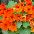 USA SELLER Double Gleam Orange Nasturtium 25 seeds