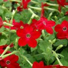USA SELLER Red Ornamental Tobacco 100 seeds
