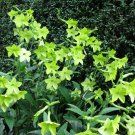 USA SELLER Lime Green Ornamental Tobacco 100 seeds