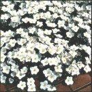 USA SELLER White Robe Nierembergia 100 seeds