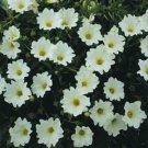 USA SELLER Chilean Bellflower White  100 seeds