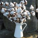 USA SELLER White Cotton 10 seeds
